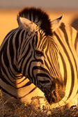 Zebra on evening — Stock Photo