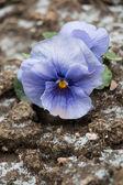 Fleur sur la saleté avec flocon de neige, gros plan, vertical — Photo