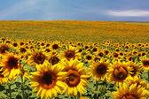 Sunflower field black & white — Stock Photo