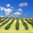 Olive trees field — Stock Photo