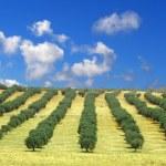Olive trees field — Stock Photo