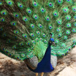 A colorful peacock — Stock Photo