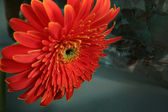 Gerbera and stone — Stock Photo