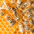 Queen bee in bee hive laying eggs — Foto de Stock   #25590095