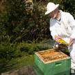 Stock Photo: Beekeeper applying smoke to bee colony