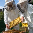 Two beekeepers maintaining bee hive - Stock Photo