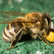 Closeup photo of bee at bee colony — Stock Photo #25590165