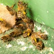 Stock Photo: Bees at entrance to bee colony or beehive