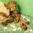 Bees at entrance to bee colony or beehive — Stock Photo