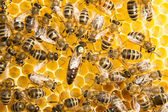 Queen bee in bee hive laying eggs — Stock Photo