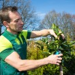 Gardener pruning a tree or plant at nursery — Stock Photo