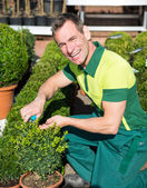 Gardener at nursery pruning or cutting boxtrees with scissors — Stock Photo