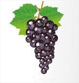 黒ブドウのベクトル図 — ストックベクタ