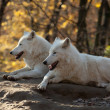 Stock Photo: White Wolves