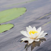 Lily on the water — Stock Photo