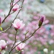 Pink magnolia — Stock Photo #24825835