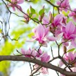 Stock Photo: Pink magnolia