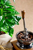 Сoffee tree and coffee mill — Stock Photo