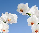 White orchidea — Stock Photo