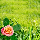 背景に緑の草、バラ — ストック写真