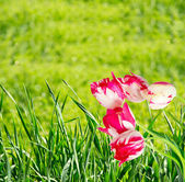 Background with green grass and tulips — Stock fotografie