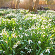 Snowdrop garden — Stock Photo
