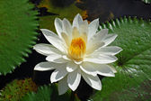 Lotus water lily — Stock Photo