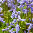 Stock Photo: Bluebell forest