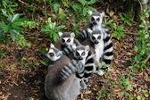 Lemur ball — Stockfoto