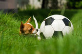 Pet with ball — Foto Stock
