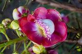 Shorea robusta — Stock Photo
