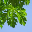 Papaya leaf — Stock Photo