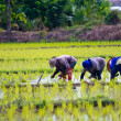 Rice cultivation. — Stock Photo