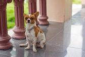 Chihuahua — Foto Stock
