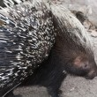 Stock Photo: Porcupine on Alert
