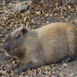 Stock Photo: CapybarRodent