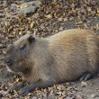 Capybara Rodent — Stock Photo #18959507