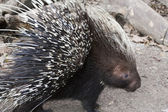 Porcupine on Alert — Stock Photo