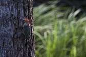 Male Red-bellied Woodpecker — Stock Photo