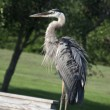 Great Blue Heron — Stockfoto