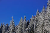 Frozen snow pines forest and cristal blue sky — Stock Photo