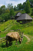Cow grazing in the village — Stock Photo