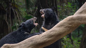 Two black bears fighting — Stok fotoğraf