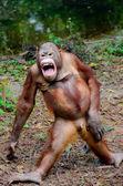 Funny smile orangutan monkey posing — Stock Photo