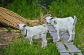 Two goats baby on the grass — Stock Photo