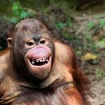 Funny smile orangutan monkey portrait — Stock Photo #44282399
