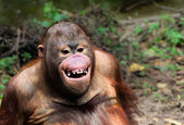 Funny smile orangutan monkey portrait — Stock Photo