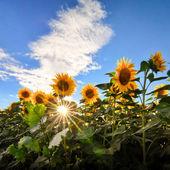 Sunflowers field with sun rays — Stock Photo