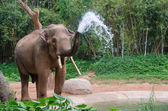 Elephant make water spray - Nature shower — Stock Photo