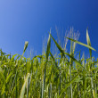 Landscape of wheat ears and blue sky — Stock Photo